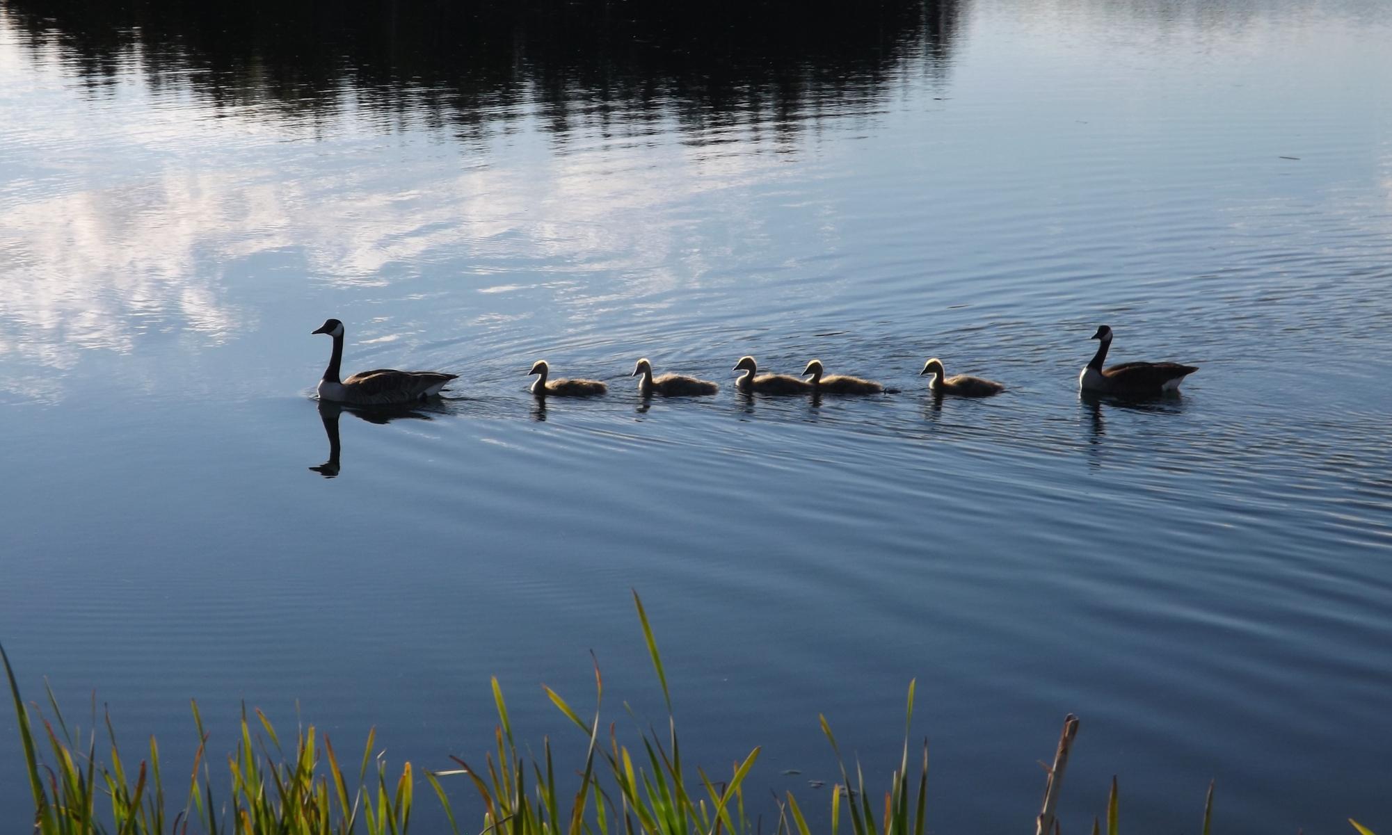 Canada-Geese-DSCF7506