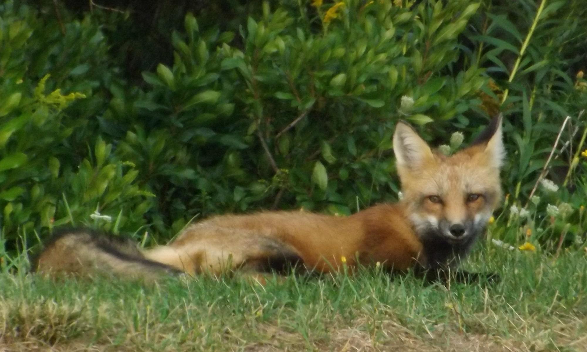 Fox-at-Cavendish-DSCF8418