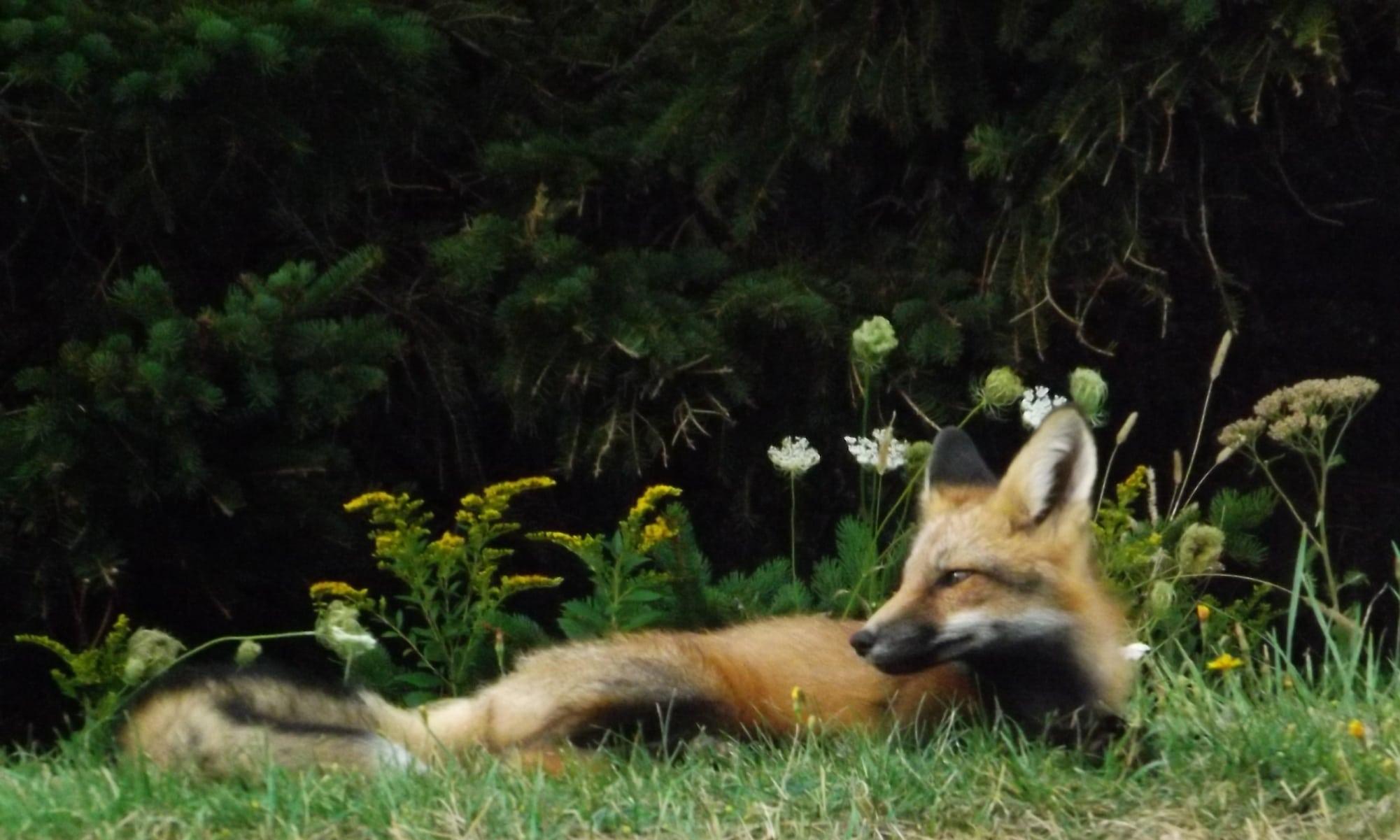 Fox-at-Cavendish-DSCF8428