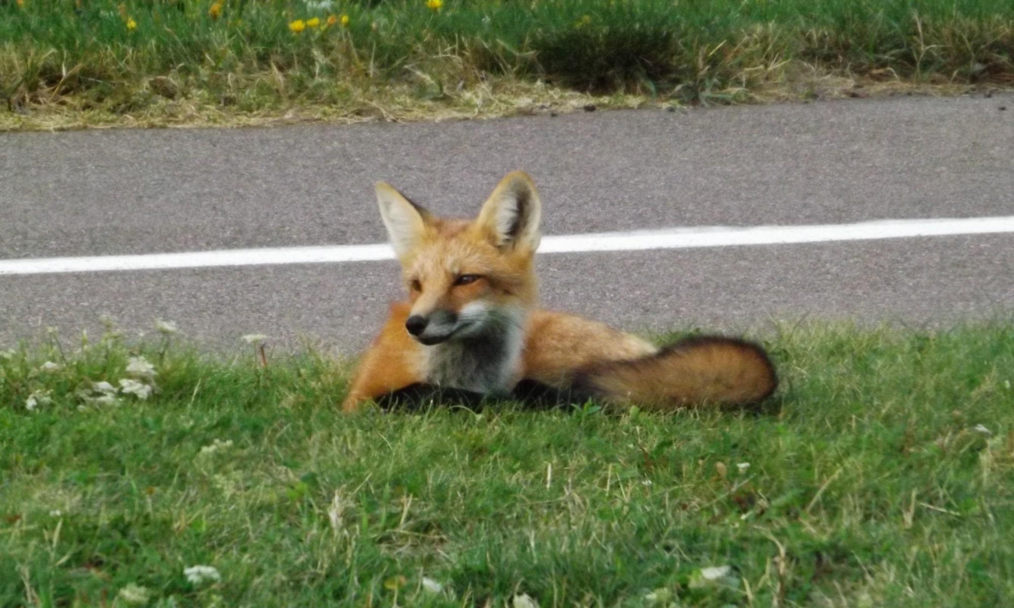 Fox-at-Cavendish-DSCF8435