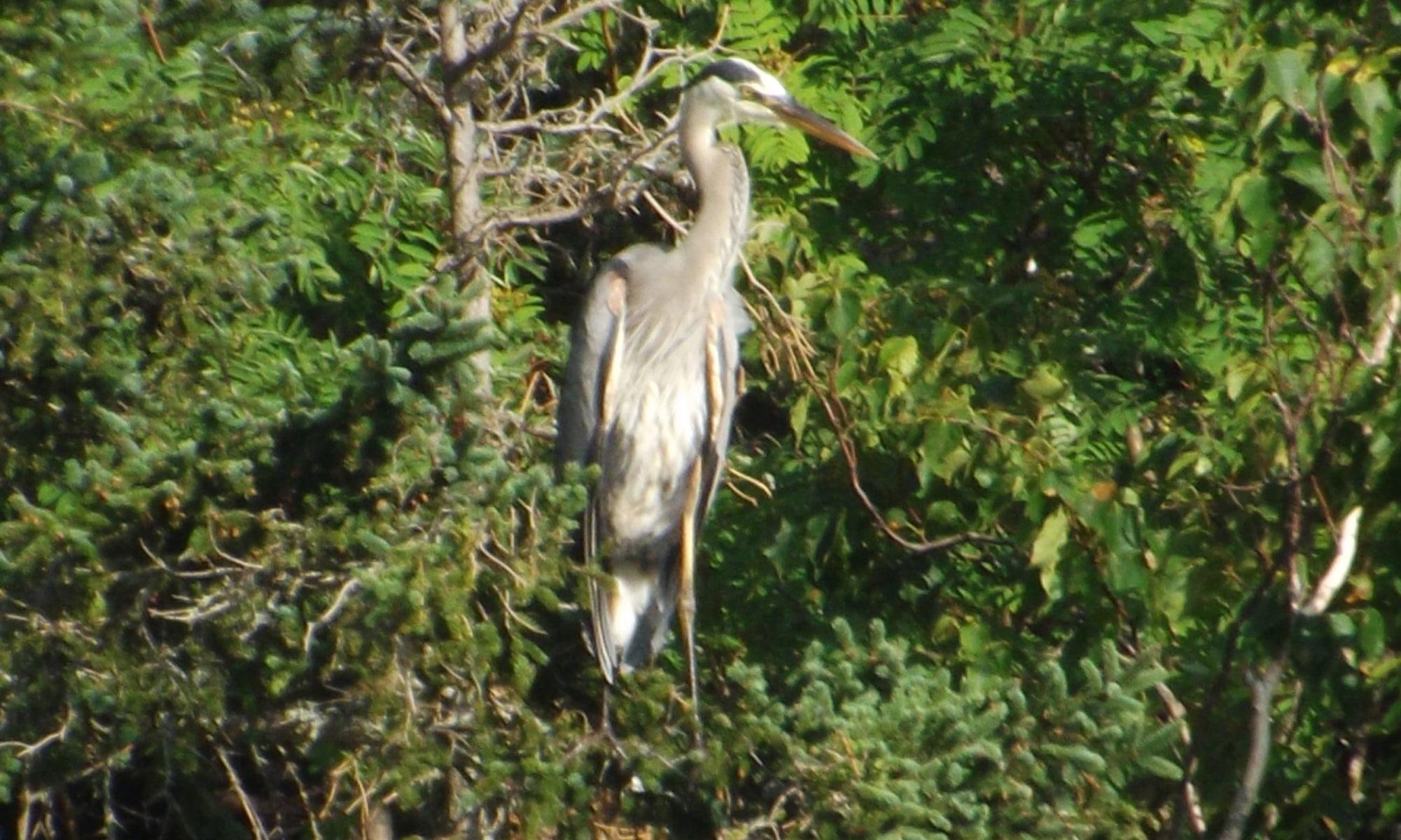 Heron-in-tree-DSCF6532