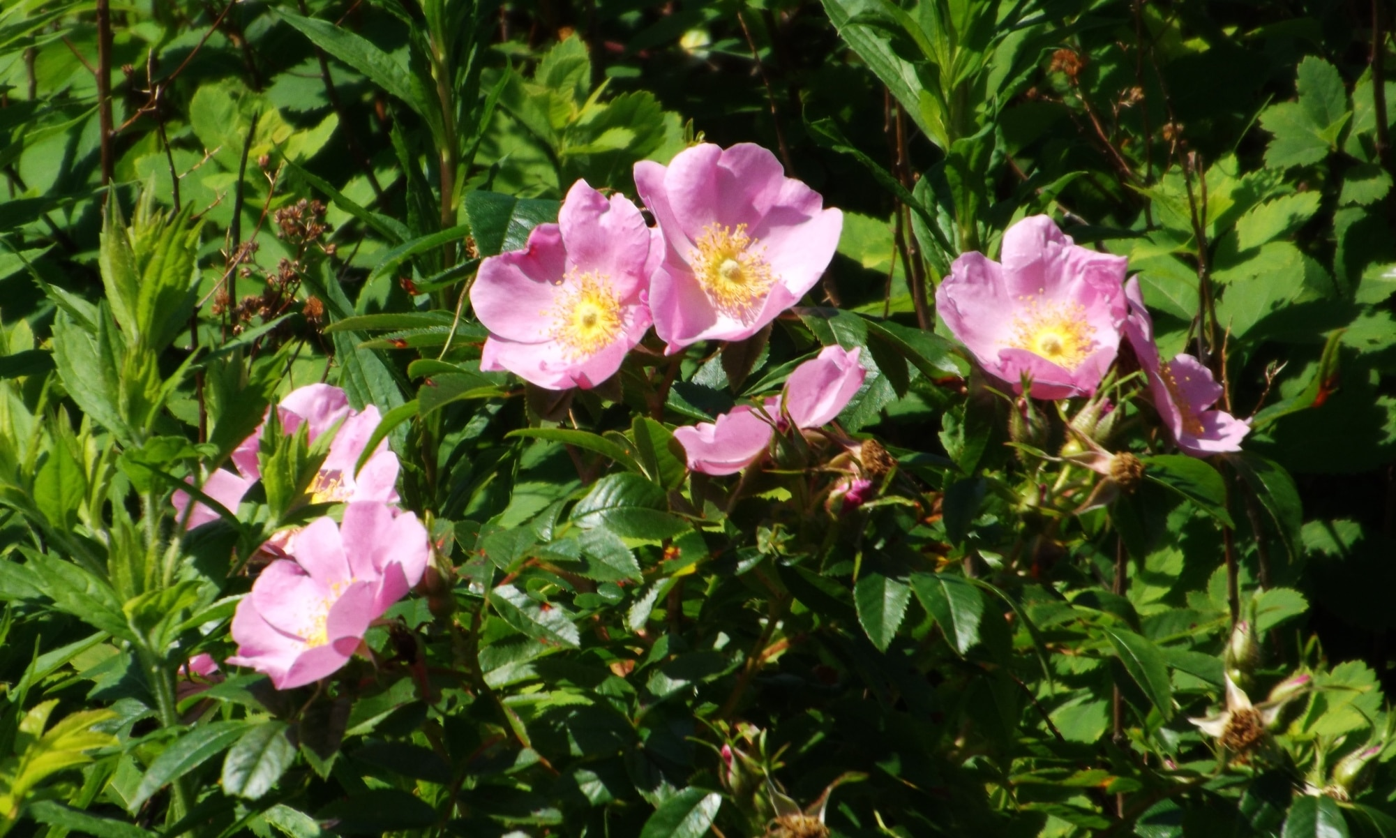 Wild-Roses-DSCF8082